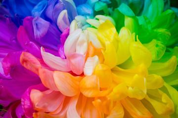 Obraz Closeup of The rainbow Chrysanthemum the new innovative plants from Netherlands.