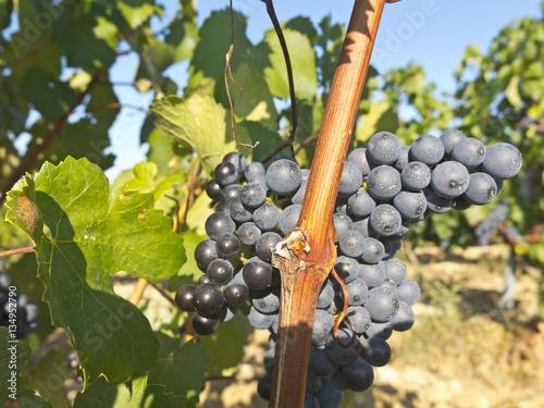 Spoed Foto op Canvas Mediterraans Europa Vineyard in la Rioja before the harvest, Spain