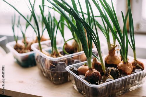 Fototapeta Sprouting onions on the windowsill at home obraz