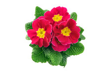 Pink Primula Flower In Flowerpot On White Isolated Background