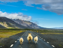 Flock Of Sheep Running On The Road In Iceland