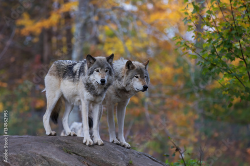 Spoed Fotobehang Wolf Timber wolves or Grey Wolf (Canis lupus) on rocky cliff in autumn in Canada