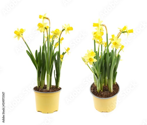 Recess Fitting Narcissus Yellow narcissus flower isolated