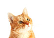 Adult red cat attentively looking up, isolated on white background