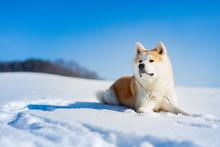 Akita Inu Dog Lying In The Snow.