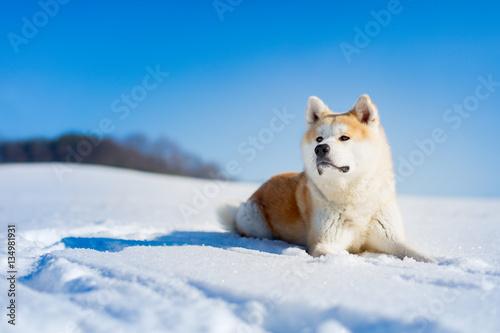 Photo Akita Inu dog lying in the snow.