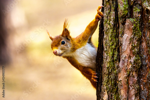 Wild red squirrel in Formby nature reserve north west UK
