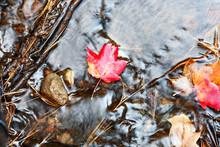 Red Leaf In Autumn Stream