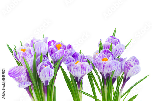 Foto op Canvas Krokussen Violet crocus fresh flowers isolated on white background