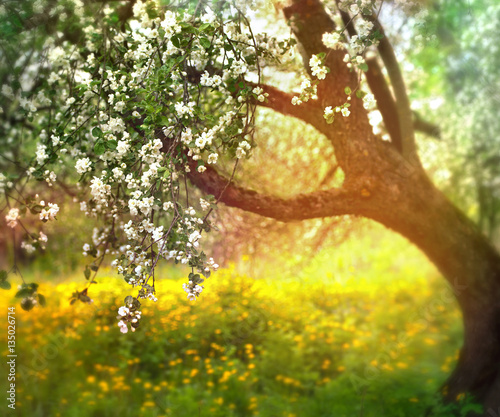 Obraz flowering apple tree in spring outdoors against the backdrop of nature in the sun. Blooming garden in spring in the sunlight. - fototapety do salonu