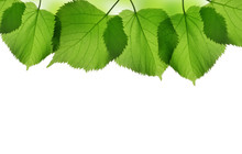 Fresh Green Spring Leaves Of Linden Isolated On White Background.