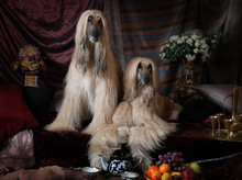 Afghan Hounds Dogs In The Arab Interior