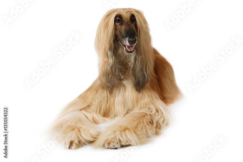 Afghan hound dog over white Canvas Print