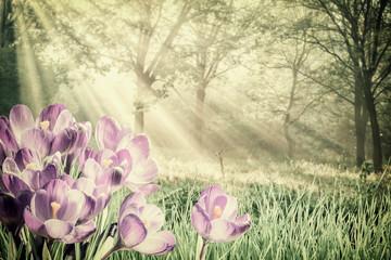 FototapetaVintage Spring Crocus Flowers