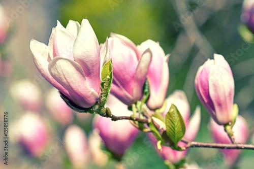 Plakat Magnoliowy okwitnięcie w wiośnie w parku