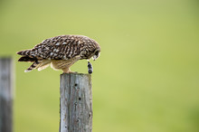 Short Eared Owl Regurgitating A Pellet