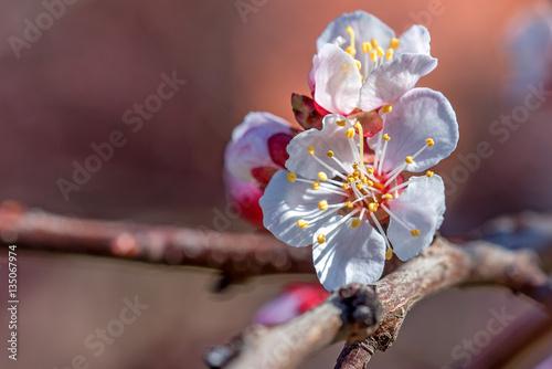 Aluminium Prints Bee Beautiful apricot flower