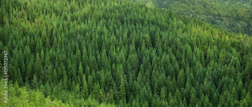 Aerial view of huge green fresh healthy spruce tree forest, panorama texture background pattern