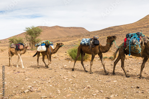 Poster Chameau caravan of camels in the desert