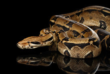 Attack Boa Constrictor Snake I...