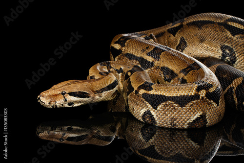 Attack Boa constrictor snake imperator color, on isolated black background with reflection