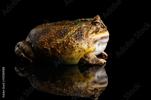 Fotografie, Obraz  Argentine Horned Frog or Pac-man, Ceratophrys ornata isolated on black backgroun