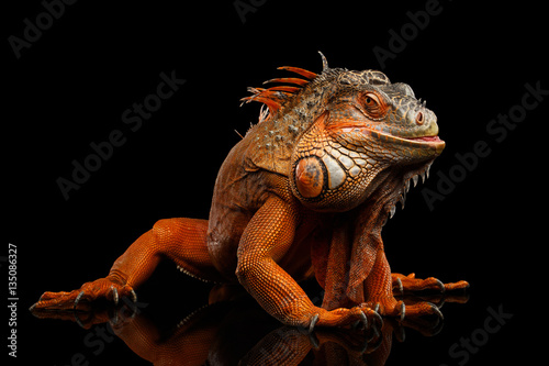 Shy animal, Orange green iguana reptile isolated on black background with reflection