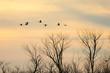 Flock of wintering Sandhill Crane birds flying over Paynes Prairie, FL