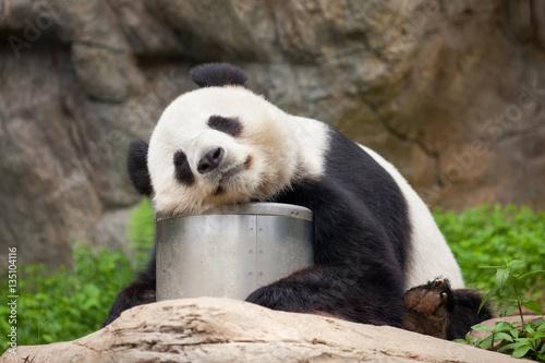 Foto auf AluDibond Pandas Großer Panda beim Mittagsschlaf