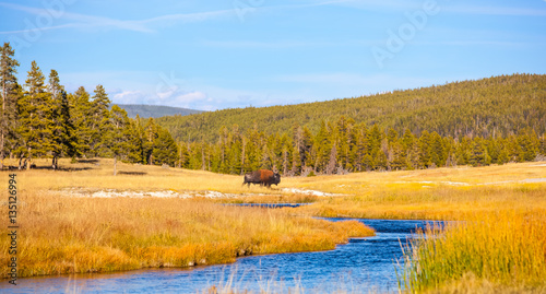 Recess Fitting Bison Yellowstone National Park, Wyoming. Lone Bison Buffalo crossing a river in a golden field.