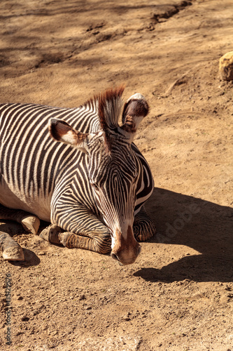 Photo Stands Zebra Grevy's zebra, Equus grevyi
