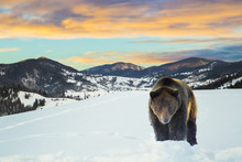 Brown Bear On A Background Of ...