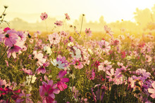 Cosmos Flowers Blooming In The Morning