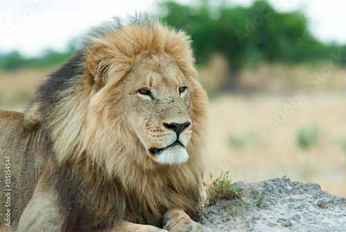 Zdjęcie XXL samiec lew (Panthera leo), patrząc na sawannę, botswana