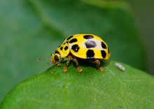 Yellow Lady Bug With Black Spots