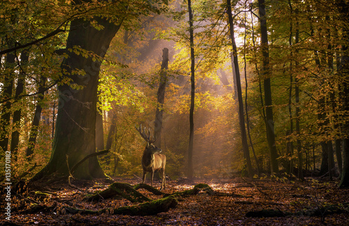 Foto auf Leinwand Hirsch Hirsch
