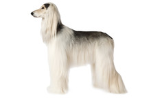 White Afghan Hound Isolated On White Background