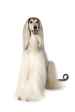 Afghan Hound Dog Isolated On White Background