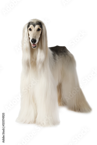 Afghan hound isolated on white background Canvas Print