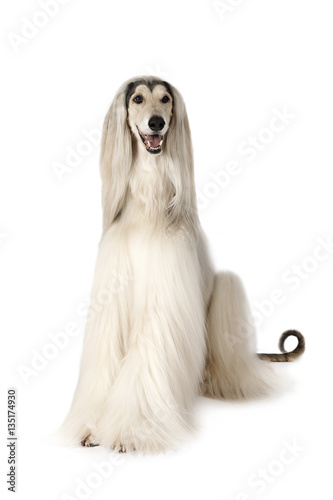Photo Afghan hound dog isolated on white background