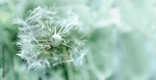 Poster Paardenbloem Dandelion close up on natural background. Dandelion flower on summer meadow