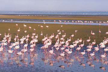 Obraz na PlexiGroup of pink flamingos on the sea at Walvis Bay, the atlantic coast of Namibia, Africa.