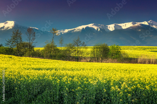 Foto op Aluminium Geel Canola field with high snowy mountains, Fagaras, Carpathians, Transylvania, Romania