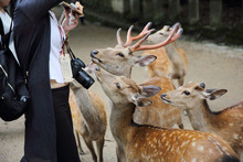 NARA, JAPAN - June 5 2016: Wild Deer With People In Nara City ,J