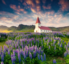 Small Church Surrounded Blooming Lupin Flowers In The Vik Villag