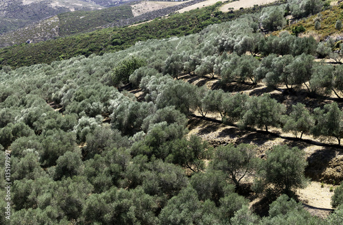 Photographie  Olives plantation on the slopes of Crete