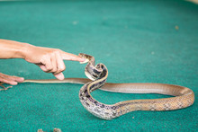 Pattaya, Thailand - January 2017: Show Snakes By Playing With A Snake During The