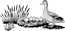Female Duck With Chicks In The...