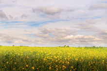 Endless Fields Of Flowering Mustard. Yellow Daisy On A Background Of Blue Sky With Clouds