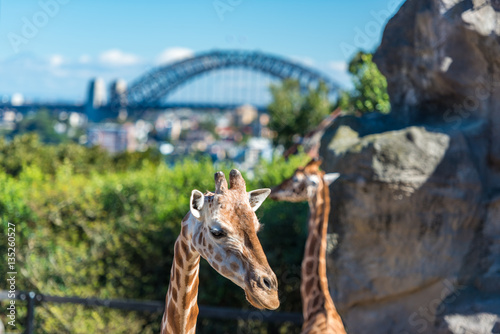 Photo  African giraffes with iconic Sydney Harbour bridge